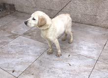100% pure Labrador Retriever puppy for sale