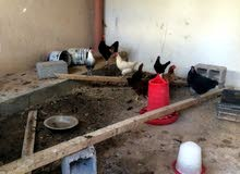 دجاج عربي تبارك الله