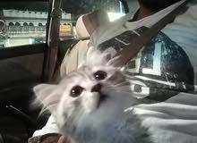 قطه شيرازي للبيع ب 400ريال