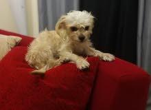 كلب شيتزو للبيع عمره 8 شهور