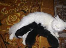 قطة شيرازي بيبي فيس مع اولادها بسعر مغري لعدم التفرغ