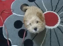 كلب زينه عمره ثلاثة اشهر