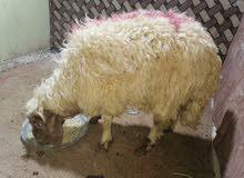 خروف معلوف وصطاني 225 مال صفاه