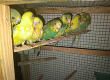 8 budgie babies tamed for hand feeding and self eating for sale