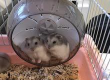 هامستر روسي القزم / Russian hamster
