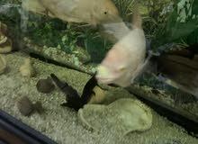 حوض مع الاسماك الطول الحوض متر ونصف والاسماك الاحجام كبيره العدد 7