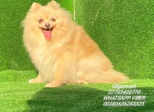 Pomeranian dogs 1