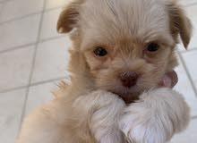 كلب جرو مالتيز حجم ميني عمر50 يوم