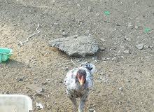 دجاج بكستاني  3حبات كبار