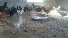 دجاج محلي عمر شهرين ونص