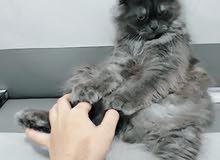 للبيع قطط ذكور عااااجل والتفاوض للجاديين