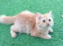 قطه انثى شيرازيه للبيع