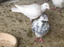 كش للبيع طيور حمام فراخ سطح بالمفرق