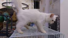 قط شيرازي للبيع صغير بالعمر