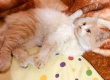 للبيع قط شيرازي جميل جدا