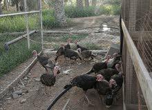 دجاج رومي (اناااث)