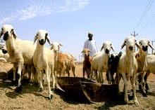 عمال مواشي من السودان