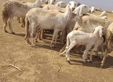 يوجد اغنام للبيع الموقع السودان توصيل مضمون بإذن اللة للكفرة