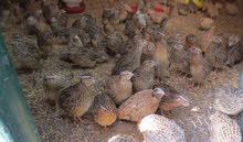 لتجار الدواجن فري لاحم بسعر الجمله من ارض المزرعه مباشره بسعر 0.5 للطير