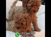 كلاب توي بودل للبيع //  Toy Poddle Dogs for Sale