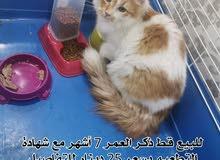 للبيع قطط لعدم التفرغة بسعر مناسب للجادين