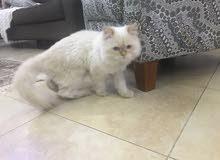 قط شيرازي للبيع رائع بسبب السفر