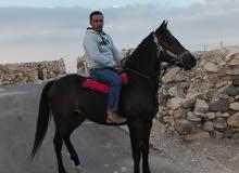 حصان لبيع