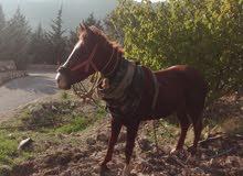 حصان حراث