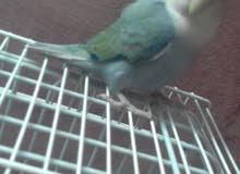 طيور روز اليف