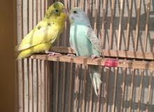 زوج طيور حب مزاويج العمر سنة ثنيناتهن