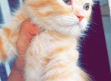 قطة شيرازية للبيع العمر57يوم ب130الف