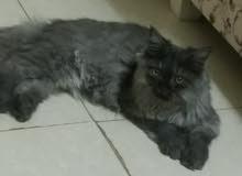قطه للبيع .الدمام .Dammam. cat for sale