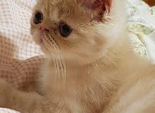 قط بيكي فيس اكزوتيك للبيع (قابل للتفاوض)