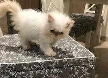 قطه هملايا عمر شهرين للبيع بسعر 800