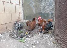 دجاج فروج0925408578