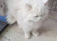 قطه شيرازي مشاءلله عيون زرقاء مستديره عمر 10اشهر حامل من  همالاي اورنج