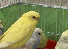 طائر الحب المميز صاحب العيون الحمراء واللون الاصفر