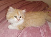 قطوة شيرازي بيكي فيس عمر شهرين