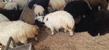 خروفsheeps and Goats call ⁰⁵⁰⁸⁴²²⁴²⁵ available