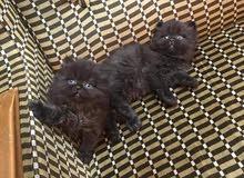 قطط هملايا فقط ب(55)د