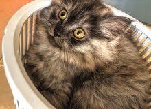 shirazi kitten