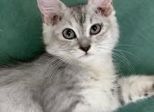 قطه شيرازي عمرها ثلاث اشهر تقريبًا
