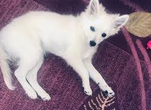 كلب Pomeranian للبيع