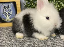 الارنب القزم واللوب والتيدي بير dwarf lop and teddy bear bunnies