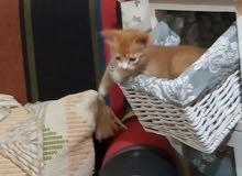kitten 2 months old