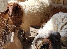 خروف ونعجة للبيع السعر بي مجال قليل