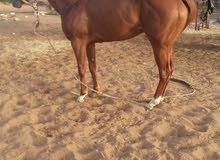 حصان للبيع ولد وعد الام إنجلزيه العمر 41شهر