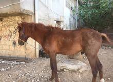 حصان طيب للبيع