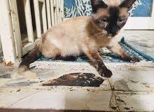 قطه للاستبدال باي شي
