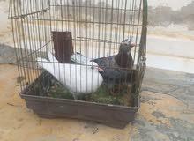 جوز حمام للبيع مكوي يمني